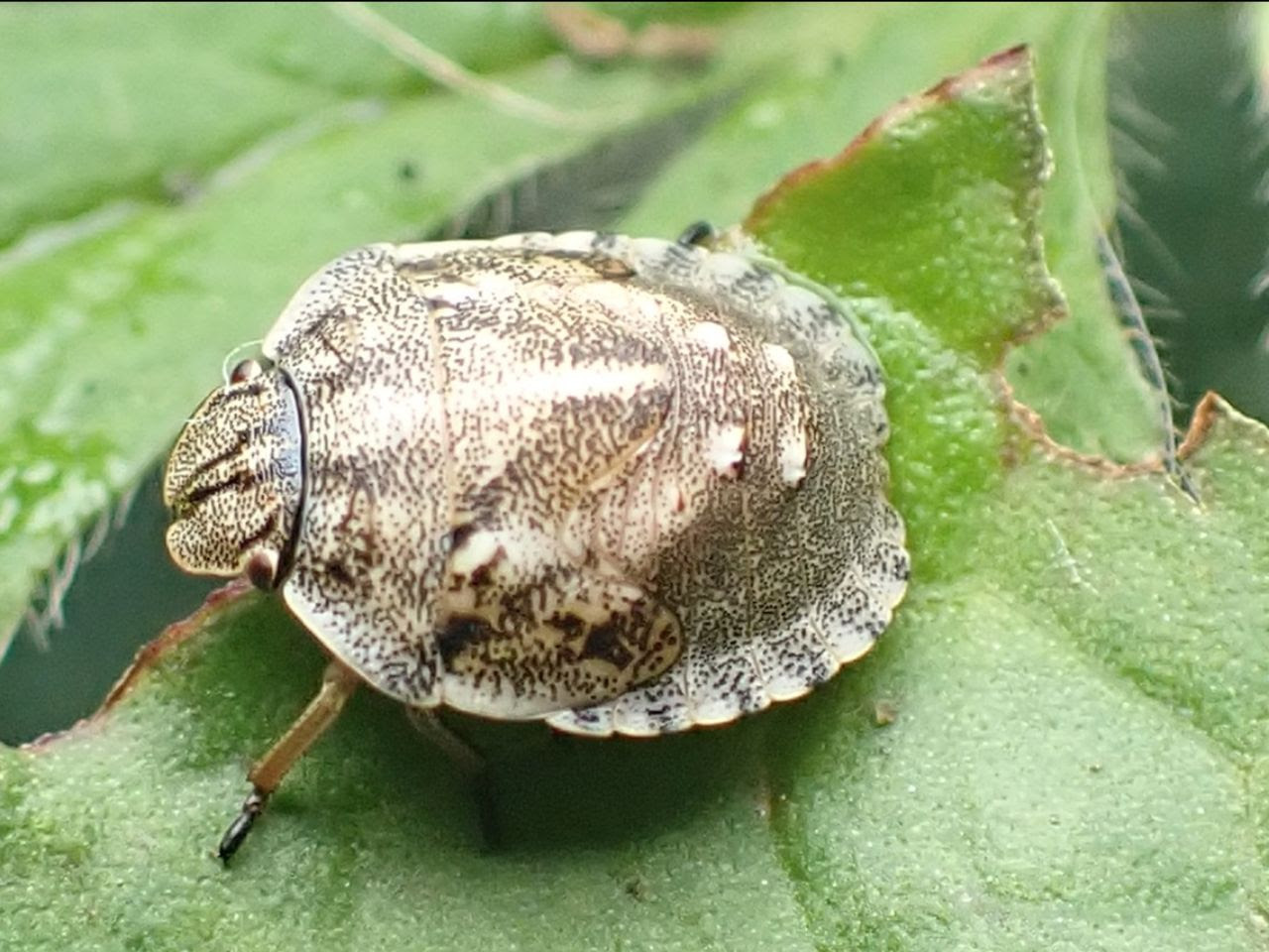 Nymph of Tortoise Shield Bug