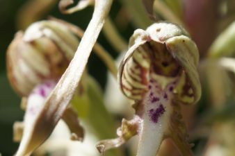 Growing Native Orchids in Meadows and Gardens