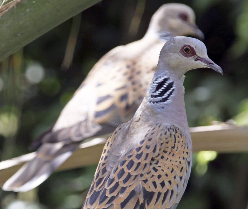 The return of the Turtle Dove